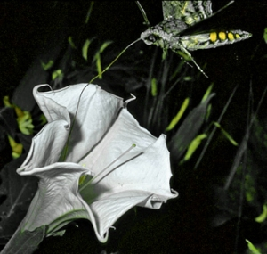 moth-daturacropped