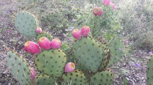 Prickly Pear Fruiting