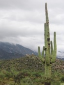 Saguaro in Monsoon