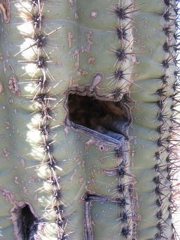 Fluted Structure of Saguaro Cactus