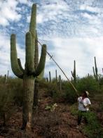 Saguaro Harvest