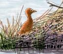 Crane fledgling_illustration_nwf
