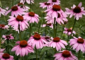 purple-coneflower