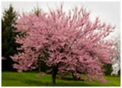 redbud-in-bloom