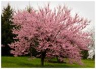 redbud-in-bloom